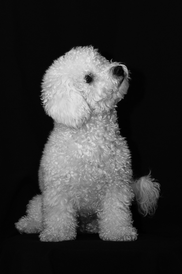 My Bichon Tommy